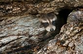 foto of peep  - Baby Raccoon  - JPG
