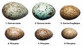 Eggs Of Birds Of Crow Family (corvids).
