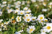 image of daisy flower  - White daisy flowers - JPG