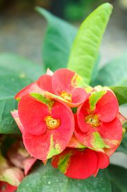 stock photo of thorns  - crown of thorns christ thorn poi sian flowers(euphorbia milii ). ** Note: Shallow depth of field - JPG
