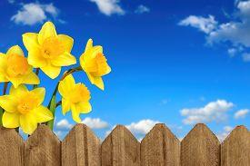 picture of daffodils  - Daffodils  - JPG