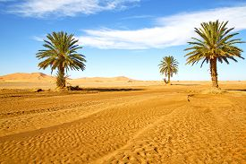 image of oasis  - palm in the desert oasi morocco sahara africa dune - JPG