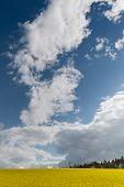 image of rape-field  - Yellow oilseed rape field under the blue sky with sun - JPG