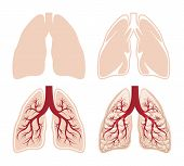 stock photo of human internal organ  - Human lungs vector - JPG
