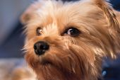 stock photo of yorkshire terrier  - A yorkshire terrier looking at you - JPG