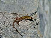 picture of lizards  - A colorful lizard  - JPG