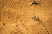 stock photo of lizards  - Lizard on orange sand as background top view - JPG