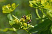 foto of ant  - Ants eat the sweet pollen of flowering plants - JPG