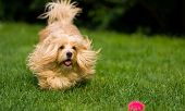 stock photo of chase  - Happy orange havanese dog is chasing a ball in the grass towards camera - JPG