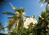 pic of frangipani  - White tropical frangipani  flower surrounded palm trees  - JPG