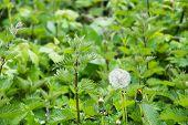picture of nettle  - dandelion clock seed head growing wild among nettles - JPG