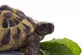 pic of carapace  - Greek land tortoise Testudo Hermanni with green leaf white studio background - JPG