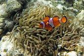 image of damselfish  - Nemo (clownfish, anemonefish, Amphiprioninae)in the background with anemone ** Note: Soft Focus at 100%, best at smaller sizes - JPG