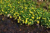 image of primrose  - yellow primrose flowers next to a ditch - JPG