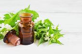 picture of nettle  - nettle essence oil and fresh branches blooming nettle - JPG