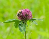 pic of red clover  - bee at red clover flower macro selective focus shallow DOF - JPG