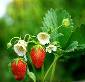 pic of strawberry plant  - bush of strawberry - JPG