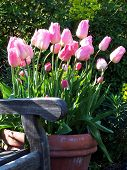 Pretty Pink Tulips By Bench