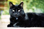 Постер, плакат: Черная кошка