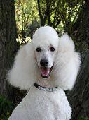 Standard Poodle Portrait
