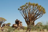 Landscapegold Trees In Namibia