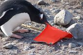 Wildlifepenguin Trying To Raise The Flag