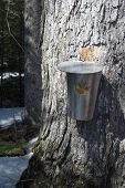 Maple Season In Spring