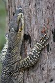 Goanna Climbing Tree