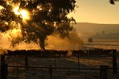 Morning Cattle At Sunrise
