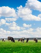 Cows grazing on meadow under blue cloudy sky