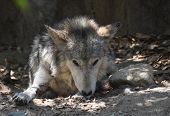 Slightly Tattered Ears On A Resting Timber Wolf. poster