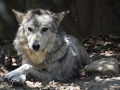 Relaxing Wolf With His Front Paws Crossed. poster