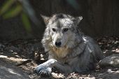 Beautiful Timber Wolf With His Paws Crossed. poster