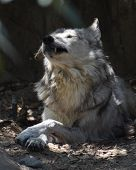 Large Wolf With His Eyes Closed Showing Off One Of His Canine Teeth. poster
