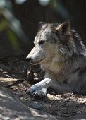 Fantastic Profile Of A Timber Wolf Resting On A Spring Day. poster