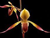 Flower Series - Paphiopedilum Orchid 7610E