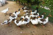 Domestic Geese Graze On Traditional Village Goose Farm, Goose, Farm Animals, Farm Landscape, Home Go poster