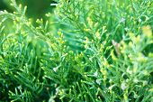 Bush, Thuja. Green Spruce Bushes In The Spring As Nature Concept poster