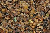 Autumn Beech leaves