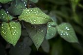 Fresh Green Leaf Leaf Sheet, Rain Falls On Leaves. After Rain Autumn Sadness Rose Leaves poster