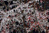 berry bush encased ice