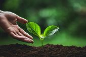 Plant Seedlings In Nature Plant A Tree Natural Background Plant Coffee Seedlings In Nature Green Fre poster