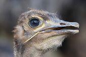 Young Ostrich Bird Portrait