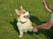 Puppy Corgi Pembroke On A Walk. Young Energetic Dog On A Walk. Puppies Education, Cynology, Intensiv poster
