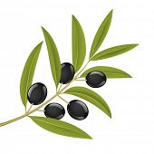 Black olives on branch, detailed vector illustration
