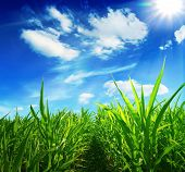 Green field of young corn and the solar blue sky