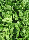 picture of romaine lettuce  - A fresh green lettuce in a garden - JPG