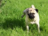 foto of minion  - Dog Pug on green grass in a park - JPG