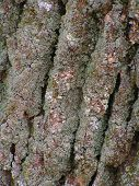 Green Ash Tree Bark With Lichen poster
