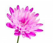 Pink Chrysanthemum Flower On Green Stick